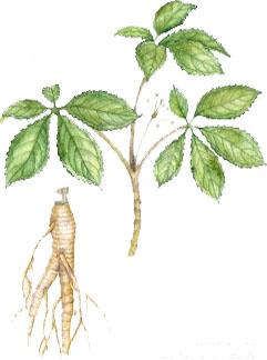 ginseng-planta