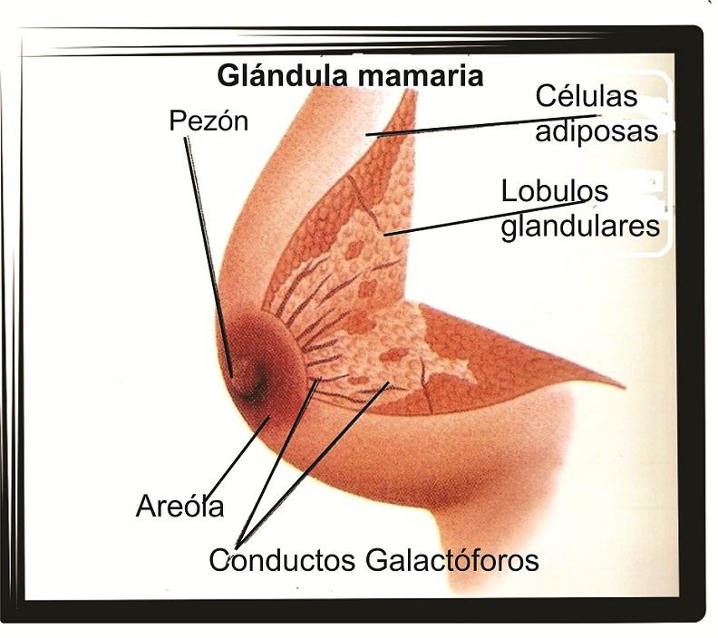 enfermedades glandulares